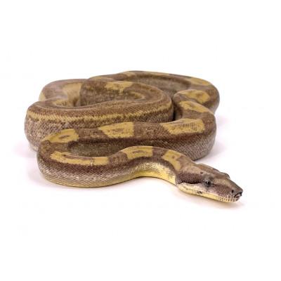Boa imperator Ghost motley femelle 1 2019 25555