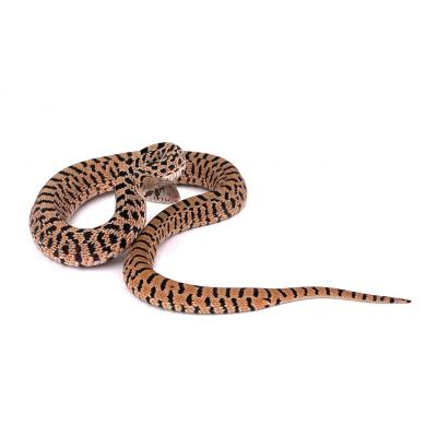 Pituophis catenifer sayi Red tiger femelle F12 2021