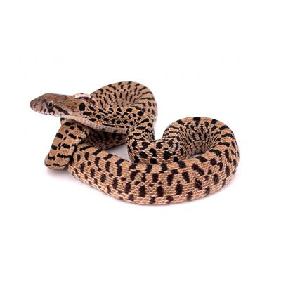 Pituophis catenifer sayi Red tiger femelle F13 2021