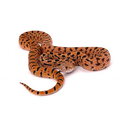 Pituophis catenifer sayi Red tiger mâle M1 2020
