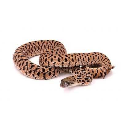 Pituophis catenifer sayi Red tiger mâle M8 2021
