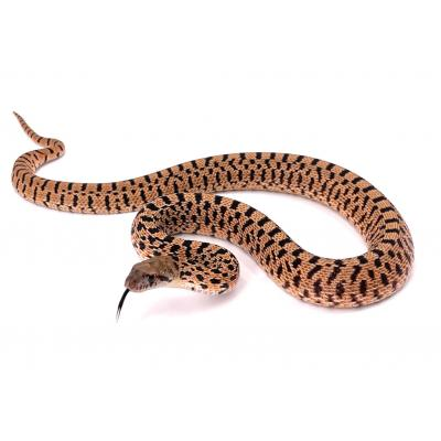 Pituophis catenifer sayi Red tiger mâle M9 2021