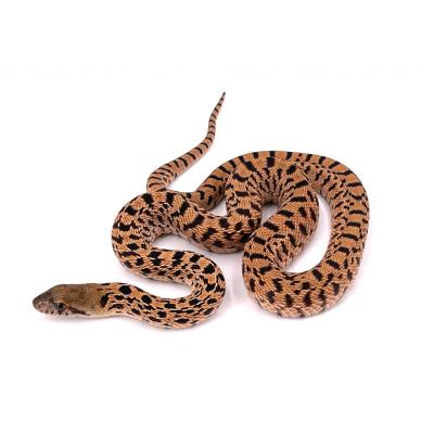 Pituophis catenifer sayi Red tiger mâle M10 2021