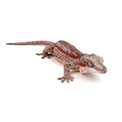 Rhacodactylus auriculatus Orange stripe femelle PH21035