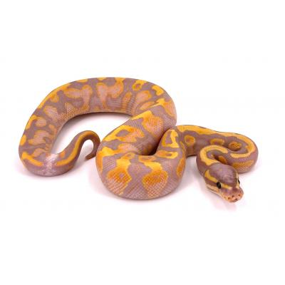 Python regius Banana enchi yellow belly mâle H12