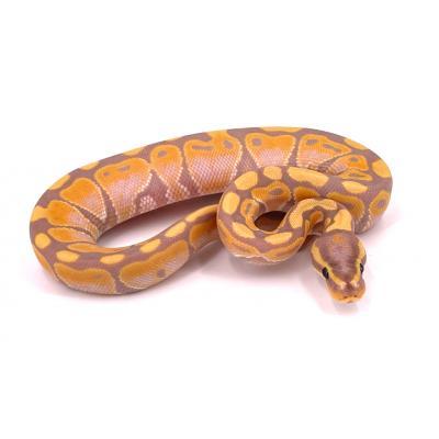 Python regius Banana FNR vanilla mâle H16