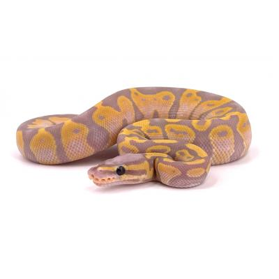 Python regius Banana mâle H4
