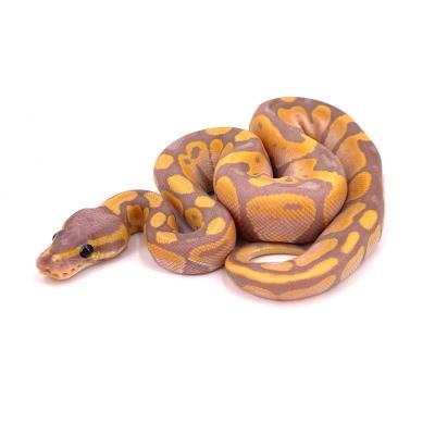 Python regius Banana mâle H19