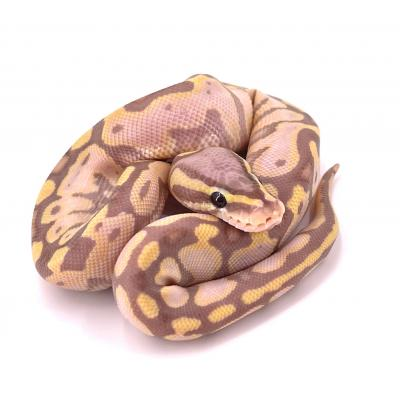 Python regius Banana pastel mâle H22