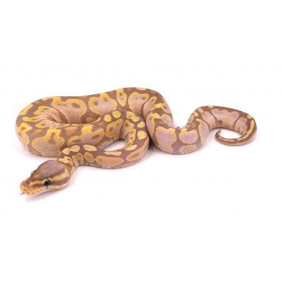 Python regius Banana pastel yellow belly mâle H13