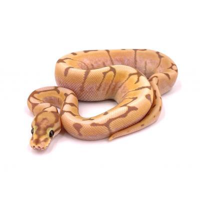 Python regius Banana spider mâle H14