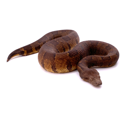 Candoia aspera femelle