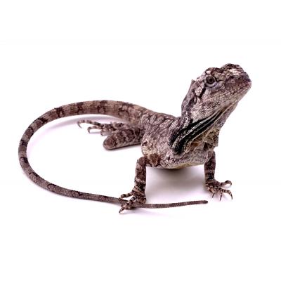 Chlamydosaurus kingii