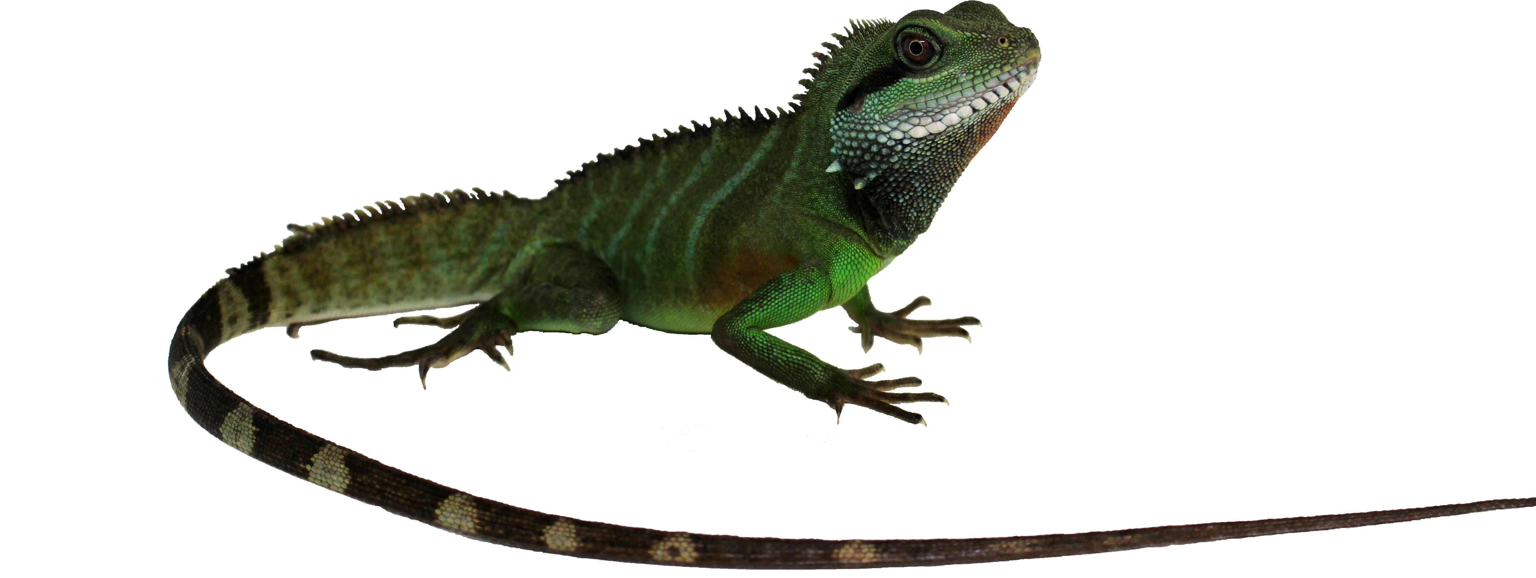 Physignatus-coccincinus.png