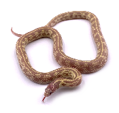 Lampropeltis getulus californiae hypo ruby eyes mâle 24 2019