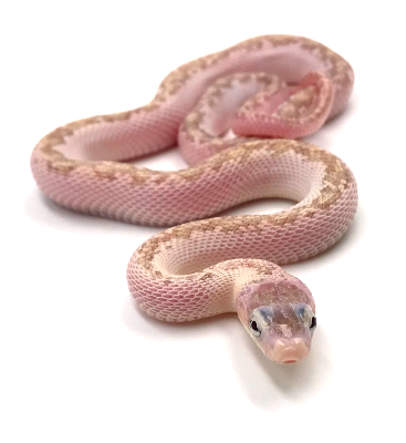 Pantherophis obsoletus Hypo licorice 2019