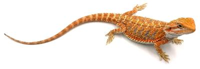 Pogona vitticeps Orange blue bar 25 cm
