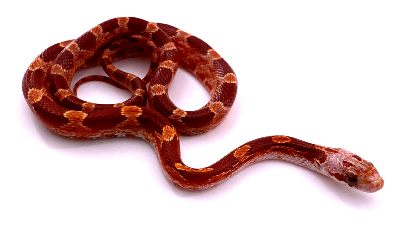 Pantherophis guttatus Hypo blood 2019