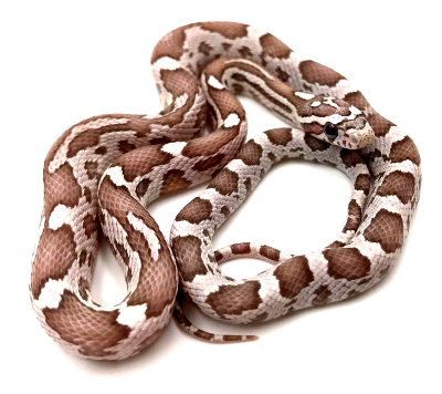 Pantherophis guttatus Anery ultimate 2019