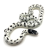 Lampropeltis getulus californiae high white