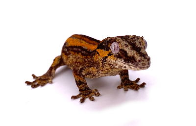 Rhacodactylus auriculatus red and orange stripe tailless juvénile 2020