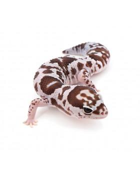 Gecko à queue grasse - REPTILIS