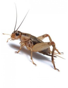 Insectes vivants - REPTILIS