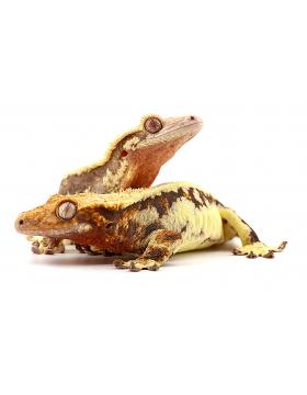 Serpents, lézards, tortues, amphibiens, invertébrés - REPTILIS