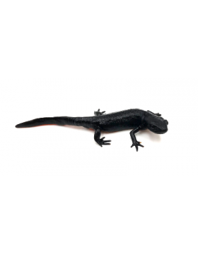 Tritons et salamandres (urodèles) - REPTILIS