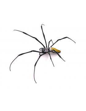 Araignées, araignées sauteuses - REPTILIS