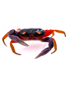 Crabes Halloween, crabes vampires - REPTILIS