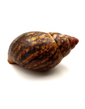 Escargots géants, Achatina sp. - REPTILIS
