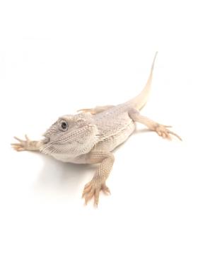 Dragon barbu, Dragon d'eau, Hydrosaure, lézard à collerette - Reptilis
