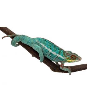 Caméléons - Reptilis