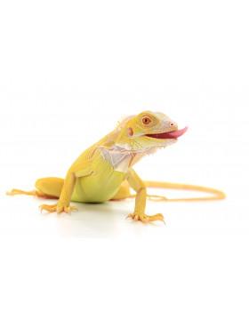 Les iguanes - Reptilis