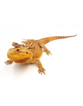 Dragon barbu, Pogona vitticeps - REPTILIS