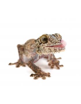 Hemitheconyx, Eurydactylodes, Uroplatus, autres geckos - Reptilis
