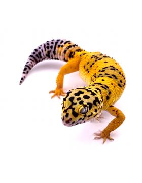 Gecko léopard - Reptilis