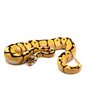 Python regius (Python royal), Piebald, Mojave, Champagne - REPTILIS