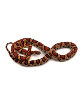 Pantherophis guttatus het scaleless (Serpents des blés) - REPTILIS