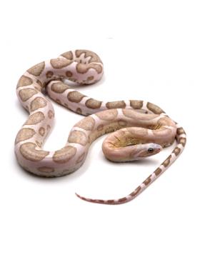 Pantherophis guttatus Scaleless (Serpent des blés sans écailles) - REPTILIS
