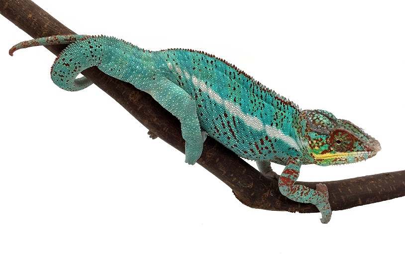 Furcifer-pardalis-Nosy-be-true-blue-site.png